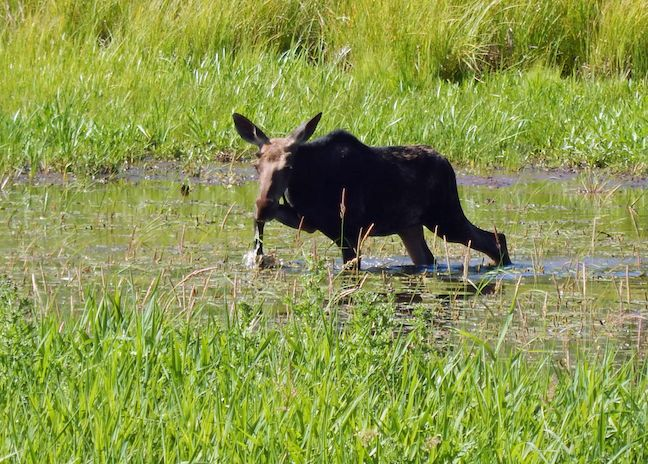 Moose along the Refuge Road in Kootenai NWR.