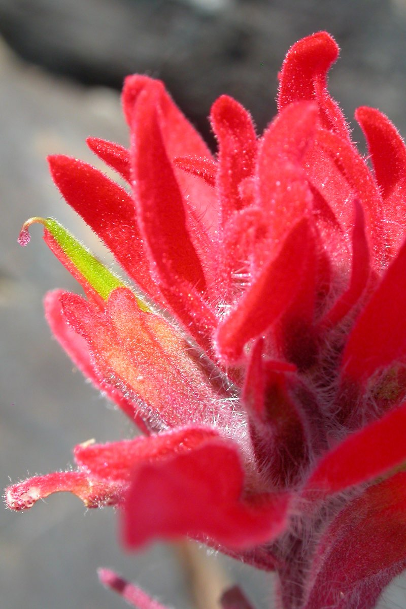 Indian Paintbrush in Craters of the Moon National Monument.