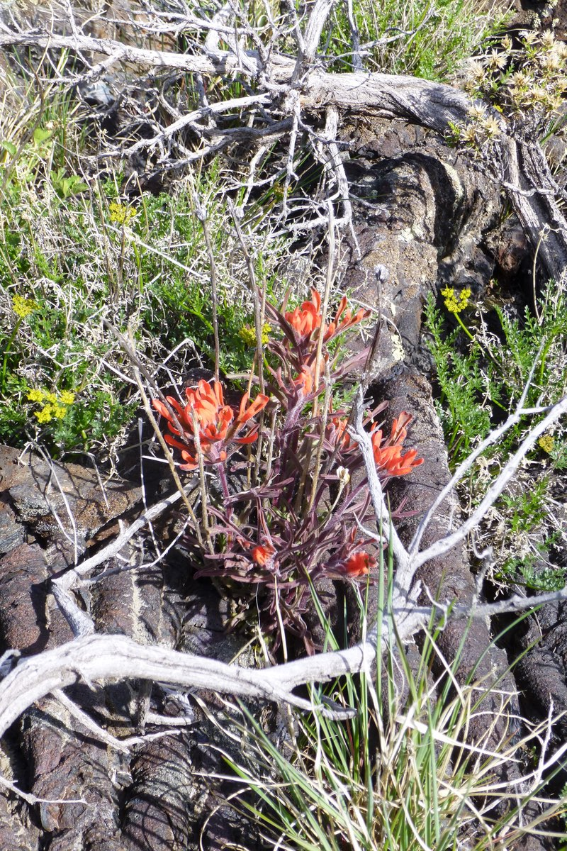 Indian Paintbrush is common throughout Craters of the Moon.