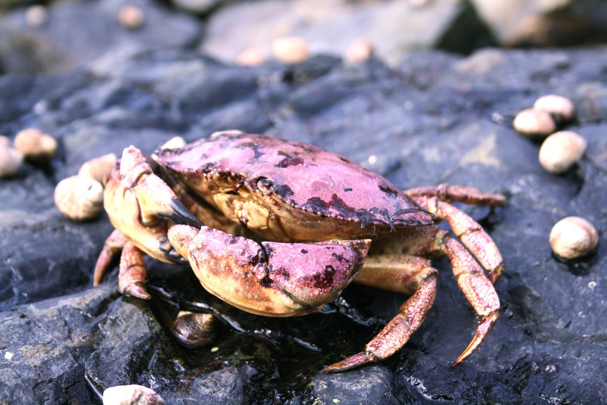 Jonah Crab (Cancer borealis) in Acadia National Park.