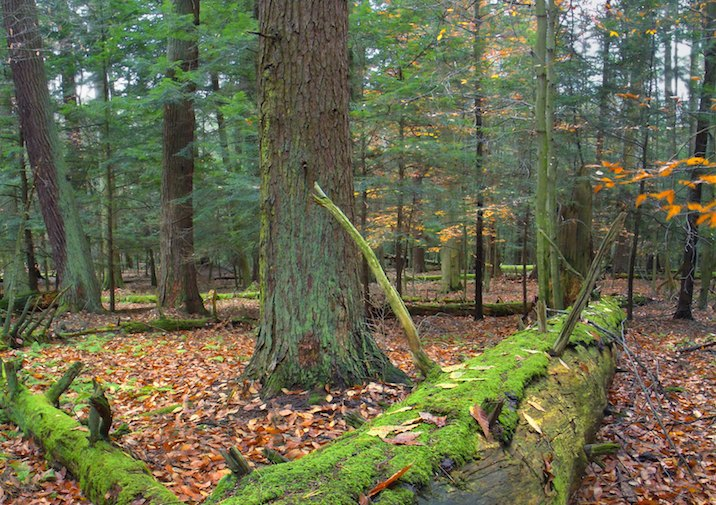 Fallen old growth hemlocks in Cook Forest State Park along the Joyce Kilmer Trail.