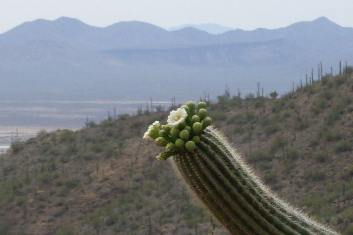 Saguaro bloom along the King Canyon Trail in Saguaro National Park.