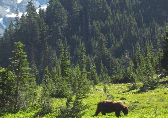 Black bear foraging along the Klapatche Park Trail in Mount Rainier National Park