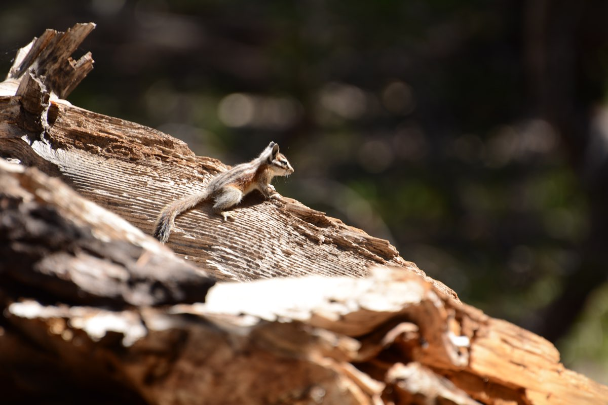 Least Chipmunk in Yosemite National Park.
