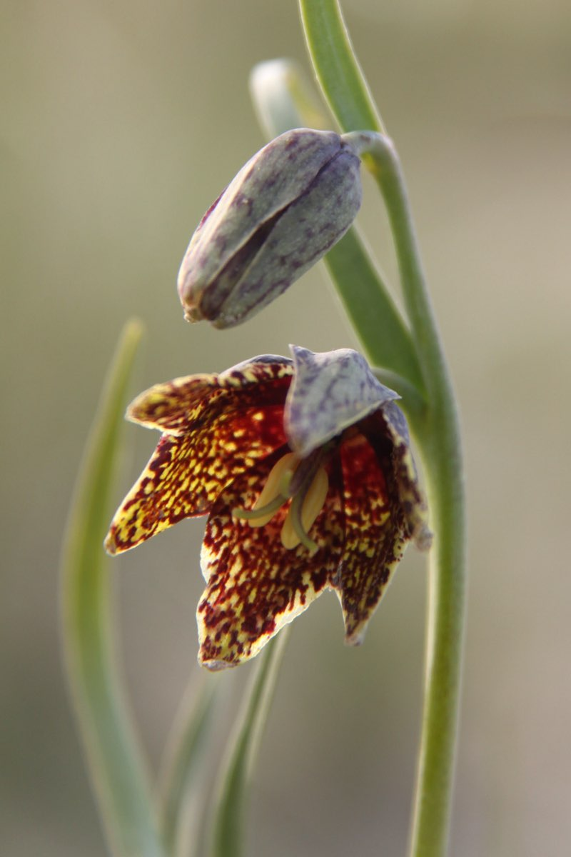 Leopard Lily in Badlands National Park.