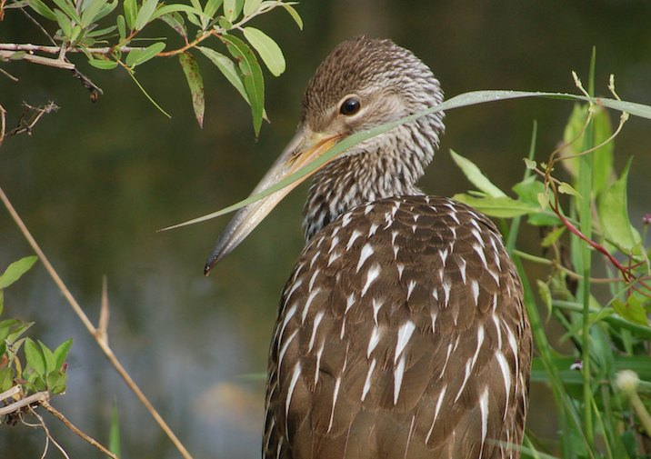 Limpkin (Aramus guarauna) relaxing in Everglades National Park