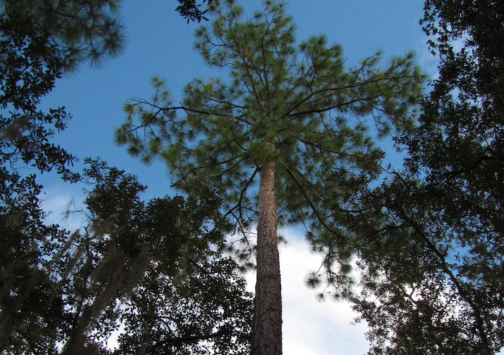 Longleaf Pines are common throughout Big Thicket National Preserve, Texas.