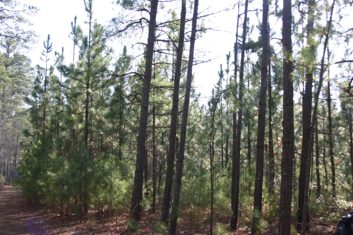 Longleaf Pines along the trail in Merchants Millpond State Park, North Carolina.