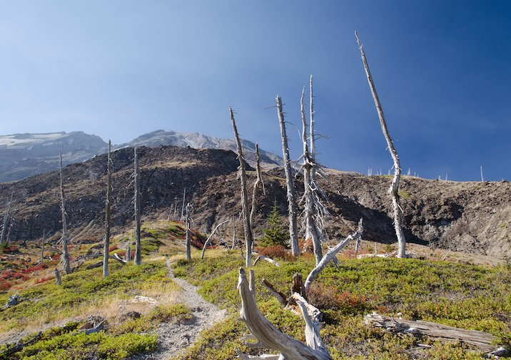Toasted trees along the Loowit Trail in Mount St. Helens Volcanic National Monument, Washington.