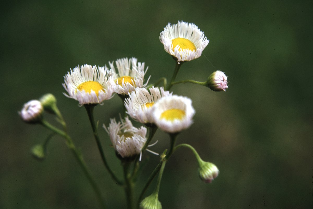 Low Fleabane wildflower in Wind Cave National Park.