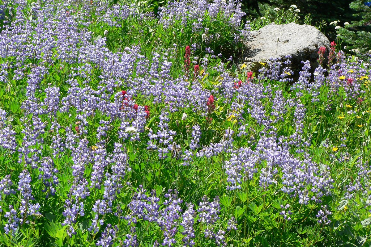 Meadow bursting with lupine in Mount Rainier National Park.