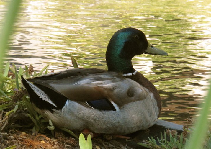 Mallard Ducks are common in the Turnbull National Wildlife Refuge near Spokane, Washington.