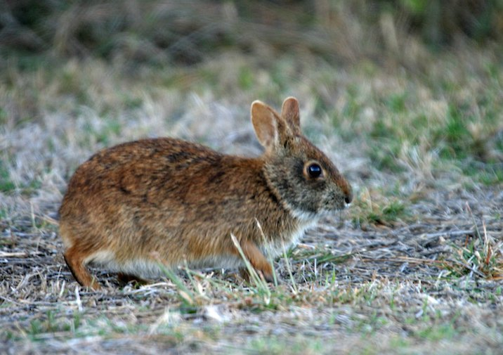 Marsh Rabbit (Sylvilagus palustris) in Everglades National Park.