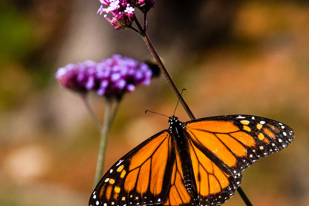 Monarch Butterfly in Acadia National Park.