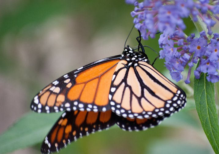 Monarch Butterfly Caledon State Park in Virginia.