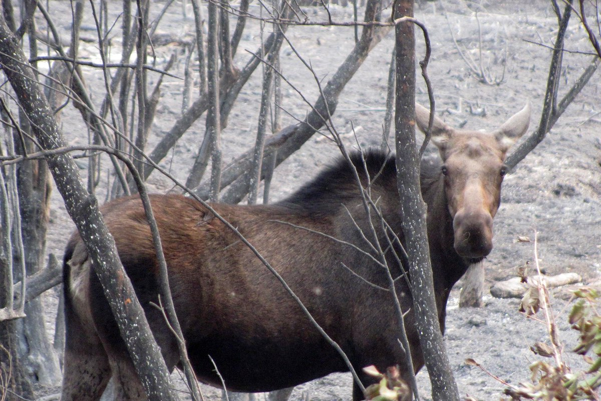 Moose in the Lolo National Forest.