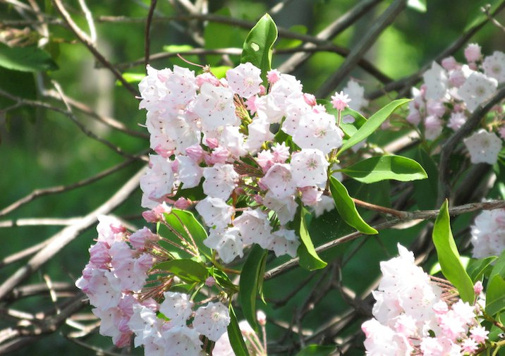 Mountain Laurel is common along Pocahontas State Park Trails.
