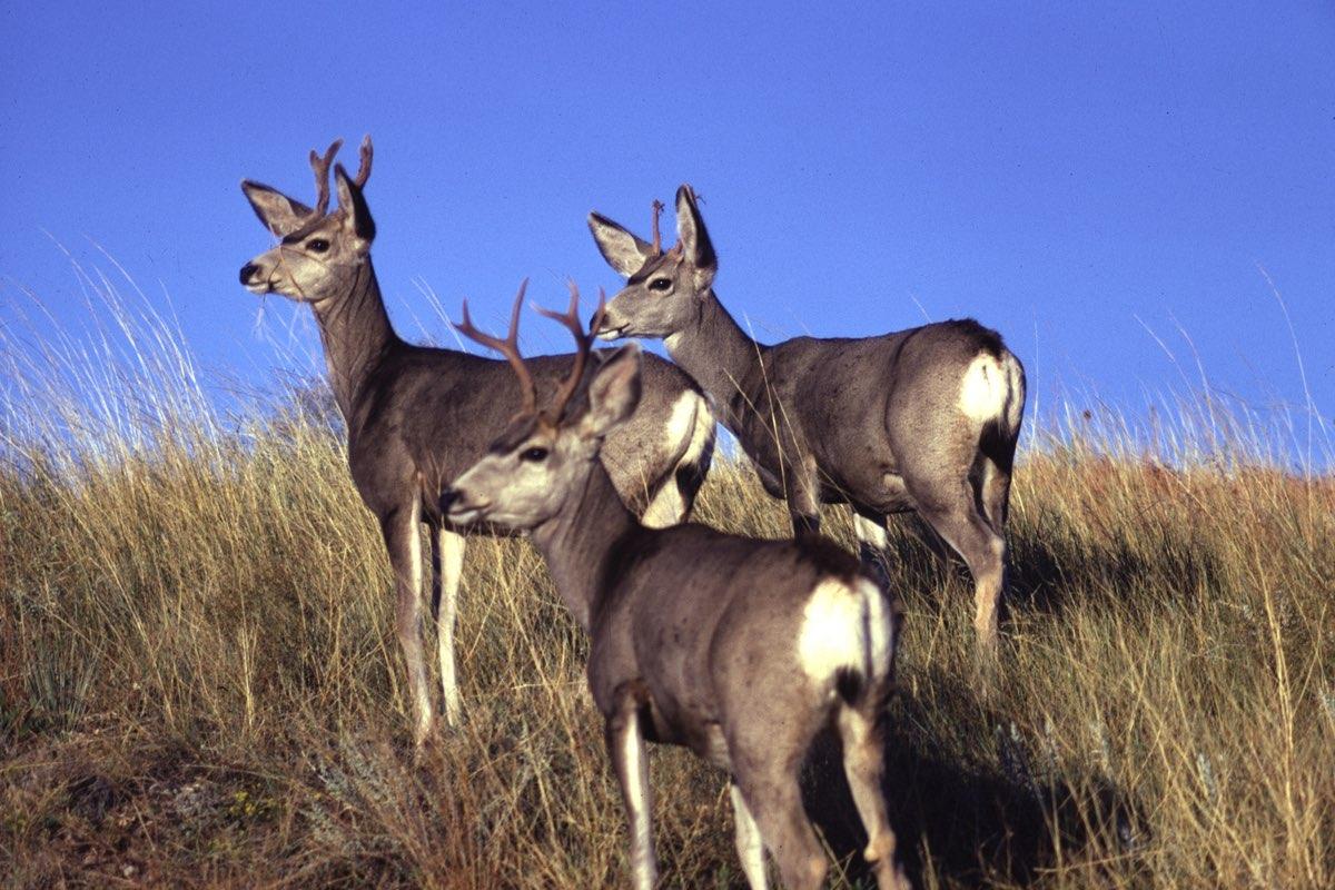 Mule Deer bucks in Wind Cave National Park.
