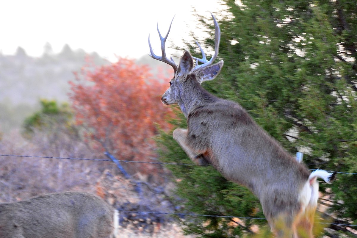 Mule Deer buck leaping fence in Bandelier National Monument.