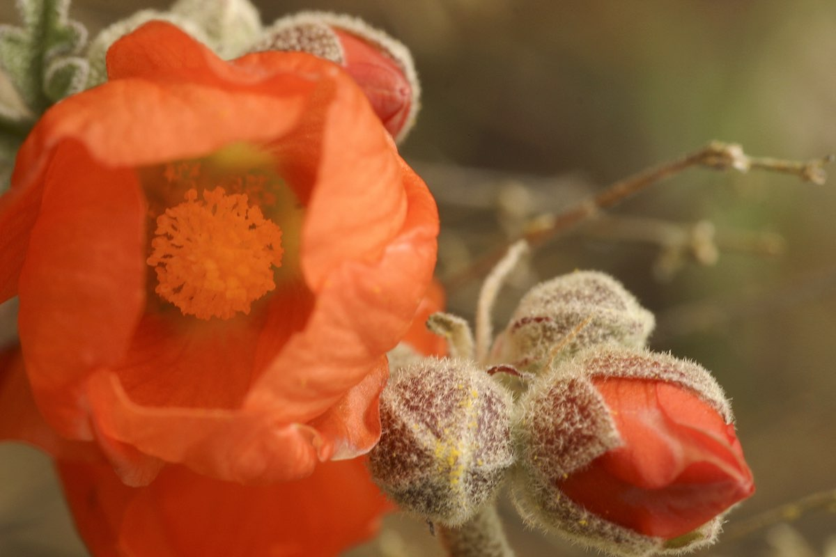 Munro's Globemallow (Sphaeralcea munroana) in John Day Fossil Beds National Monument.
