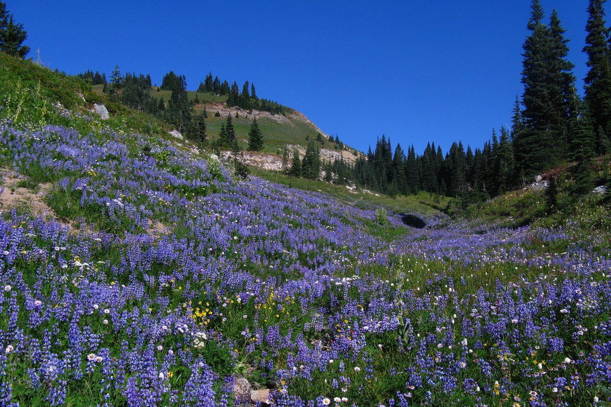 Lupine saturated meadow along the Naches Peak Loop Trail in Mount Rainier National Park.