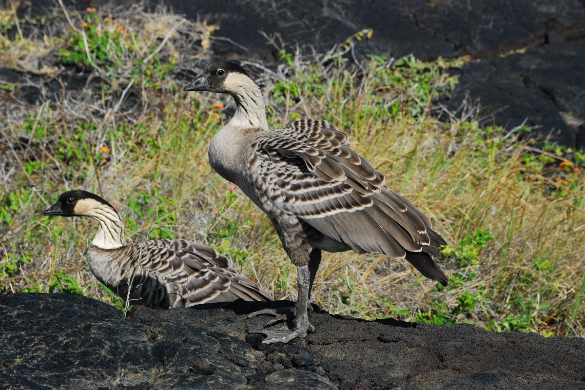 Nenes in Haleakala National Park.