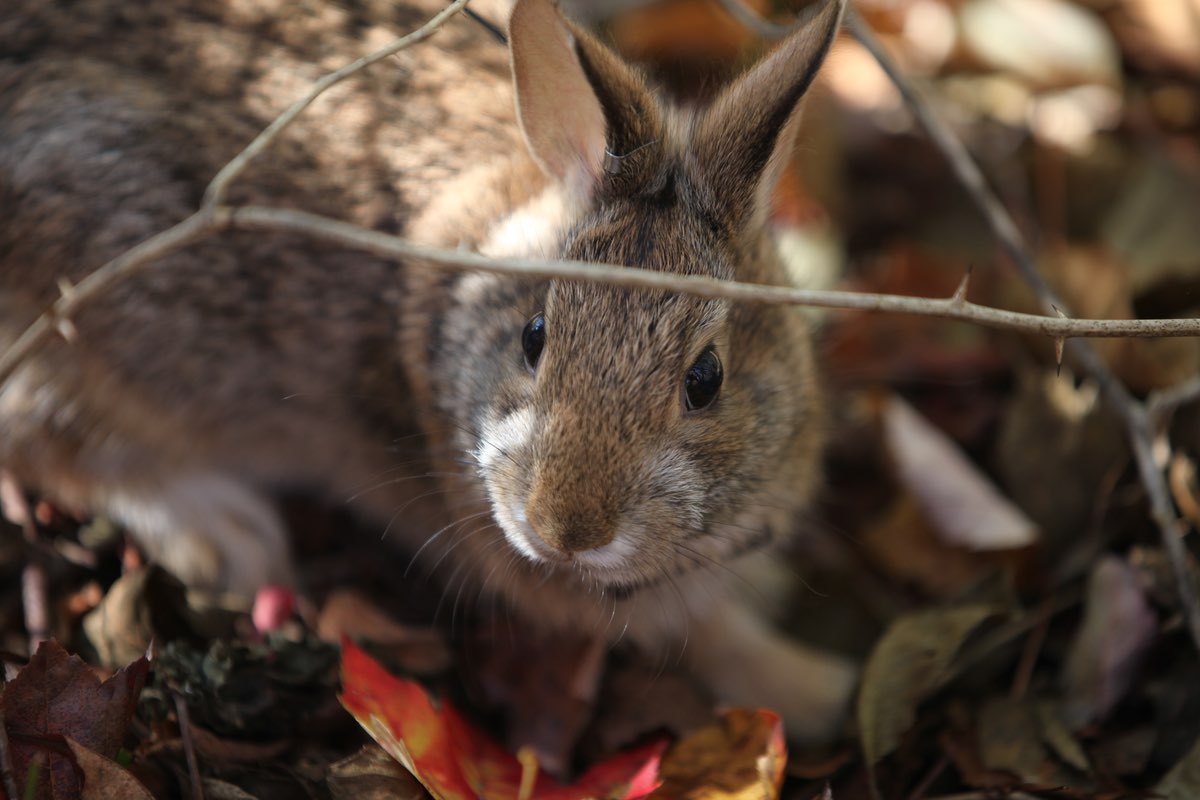New England Cottontail (Sylvilagus transitionalis)