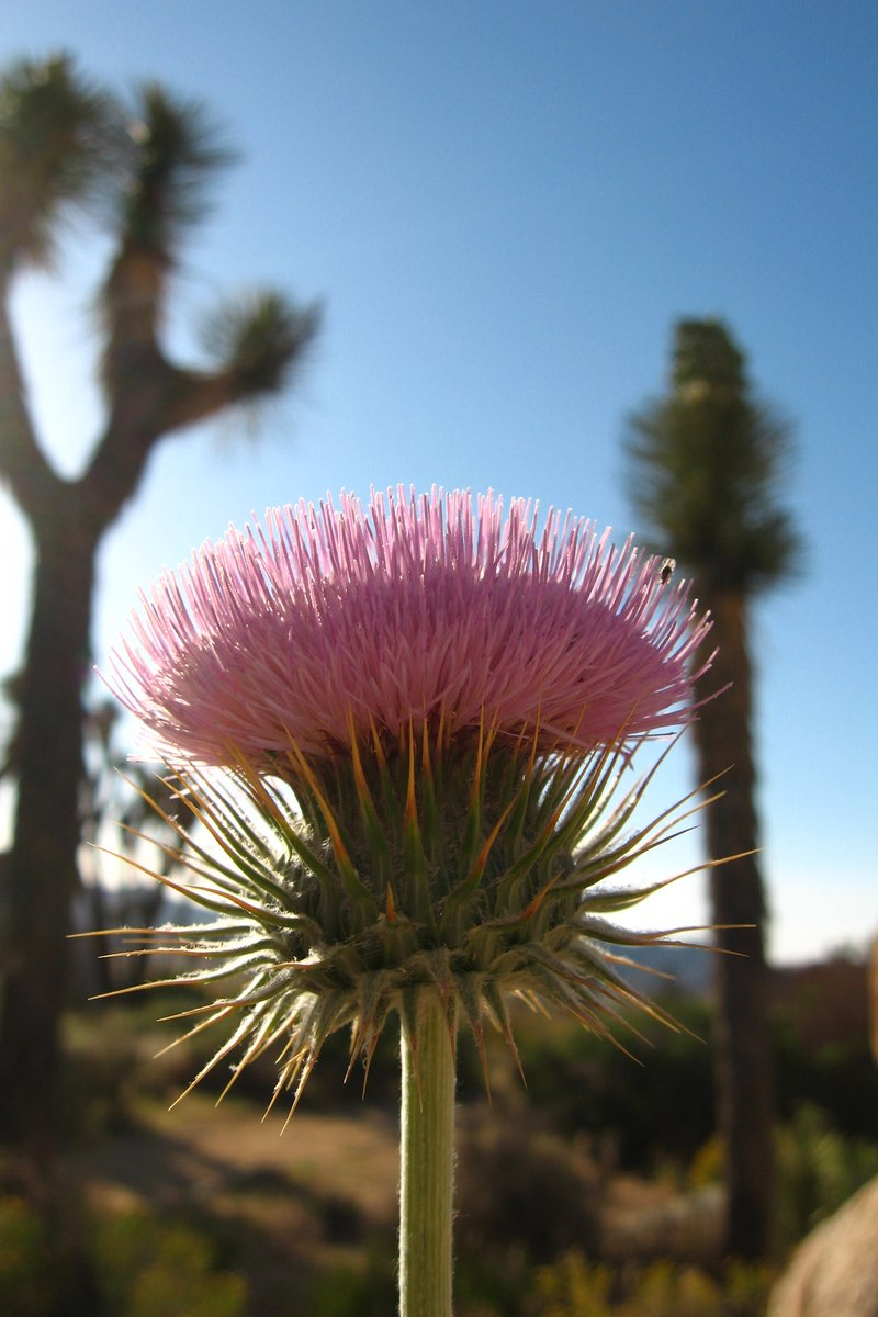 New Mexico Thistle (Cirsium neomexicanum) along the Cap Rock Trail in Joshua Tree National Park.