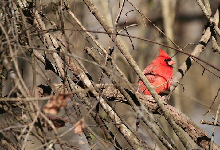 Northern Cardinal (Cardinalis cardinalis) in Congaree National Park.