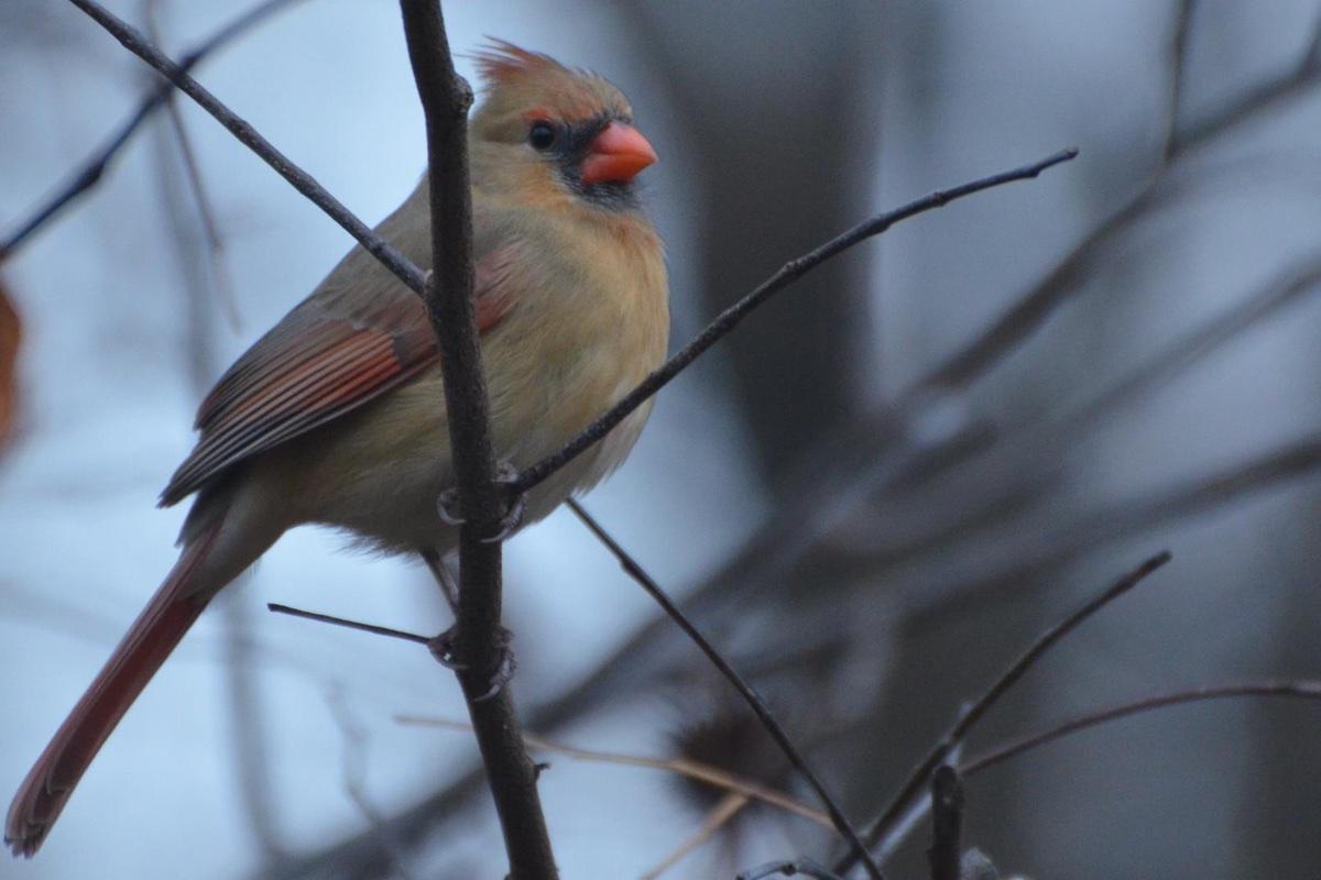 Female Northern Cardinal (Cardinalis cardinalis) in Hawn State Park.