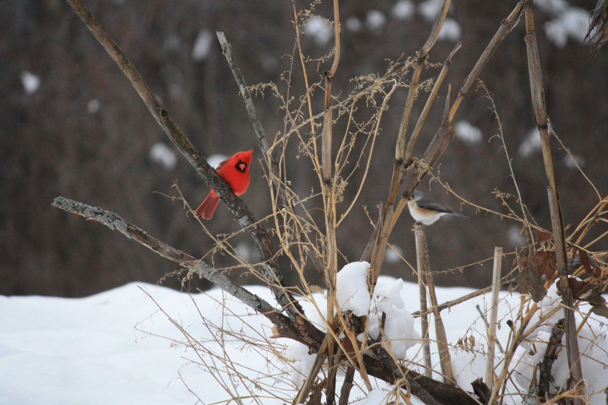 Northern Cardinal and friend in Mines of Spain Recreation Area in Iowa.