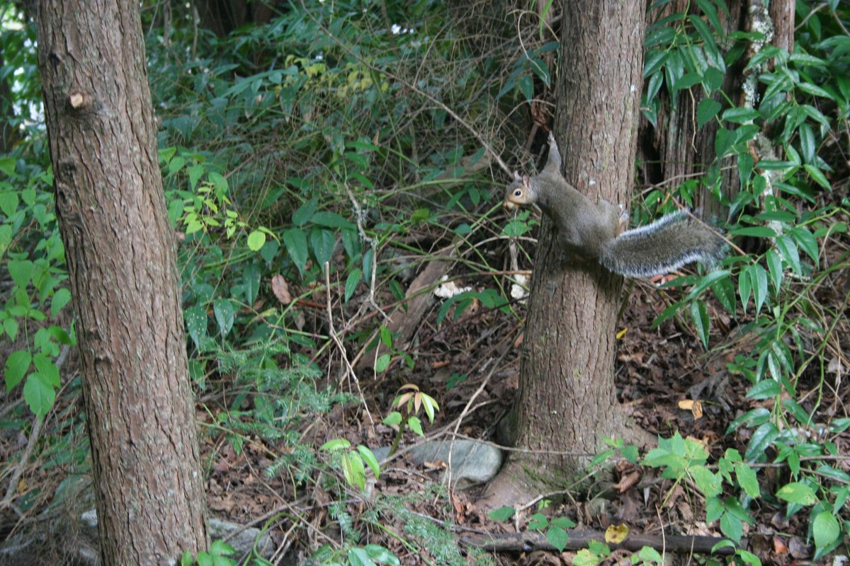 Gray Squirrel along the Oconaluftee River Trail in Great Smoky Mountains National Park.