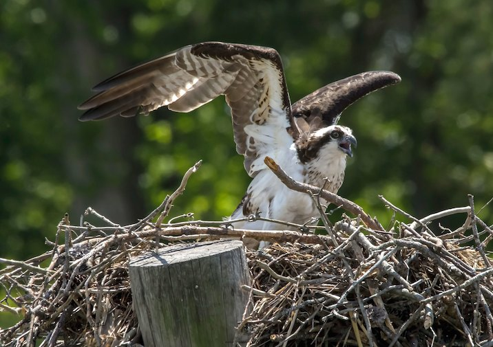 Osprey like this one are common in Belle Isle State Park in Virginia.