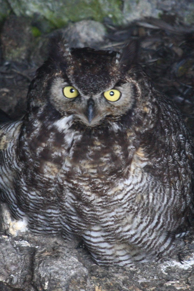Owl in Craters of the Moon National Monument in Idaho.