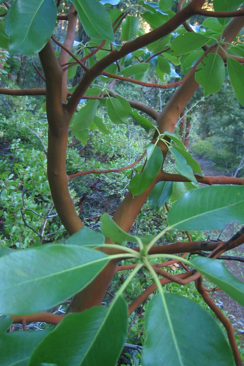 Pacific Madrone (arbutus-menziesii) is common in Oregon Caves National Monument.