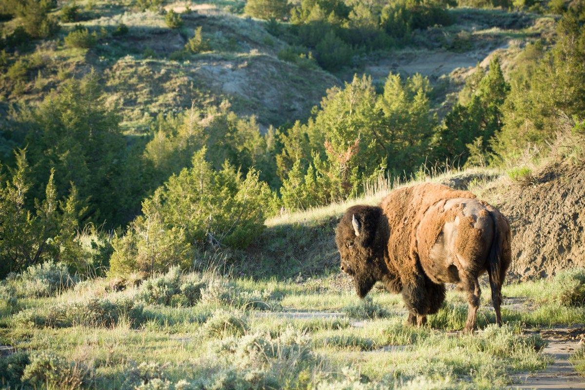 Bison along the Painted Canyon Loop in Theodore Roosevelt National Park.