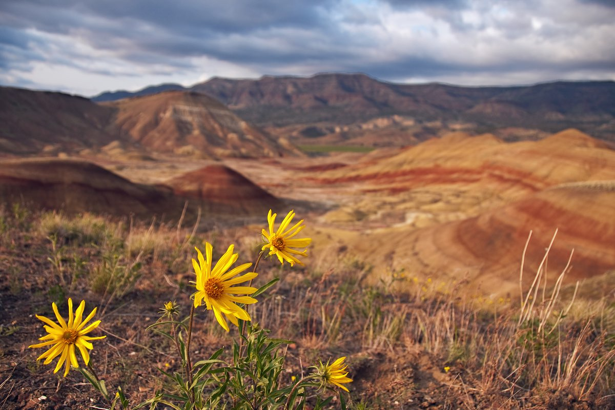 Wildflowers and the Painted Hills in John Day Fossil Beds National Monument.