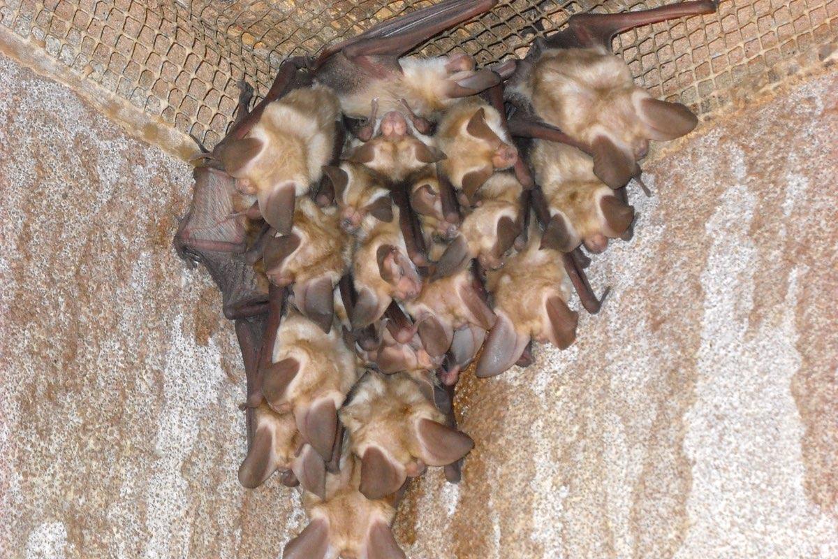 Pallid Bats (Antrozous pallidus) in White Sands National Monument.