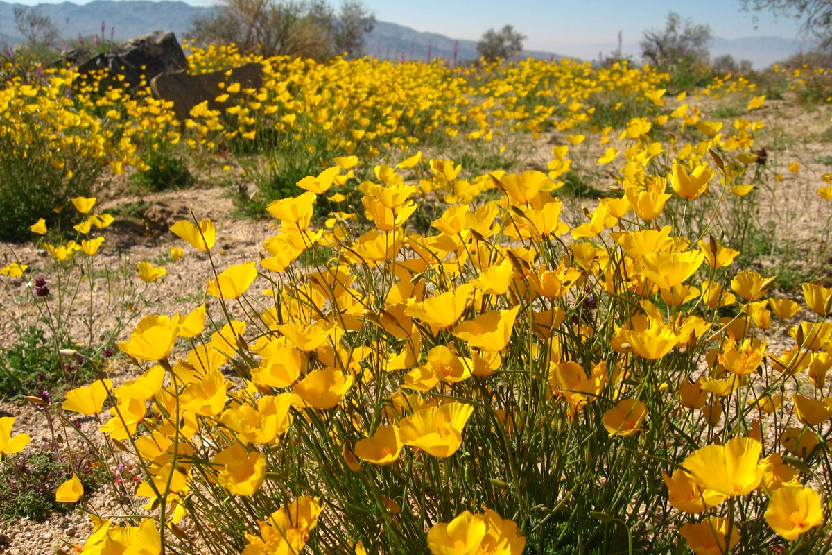 Parish's Poppy (Eschscholzia parishii) in Joshua Tree National Park.