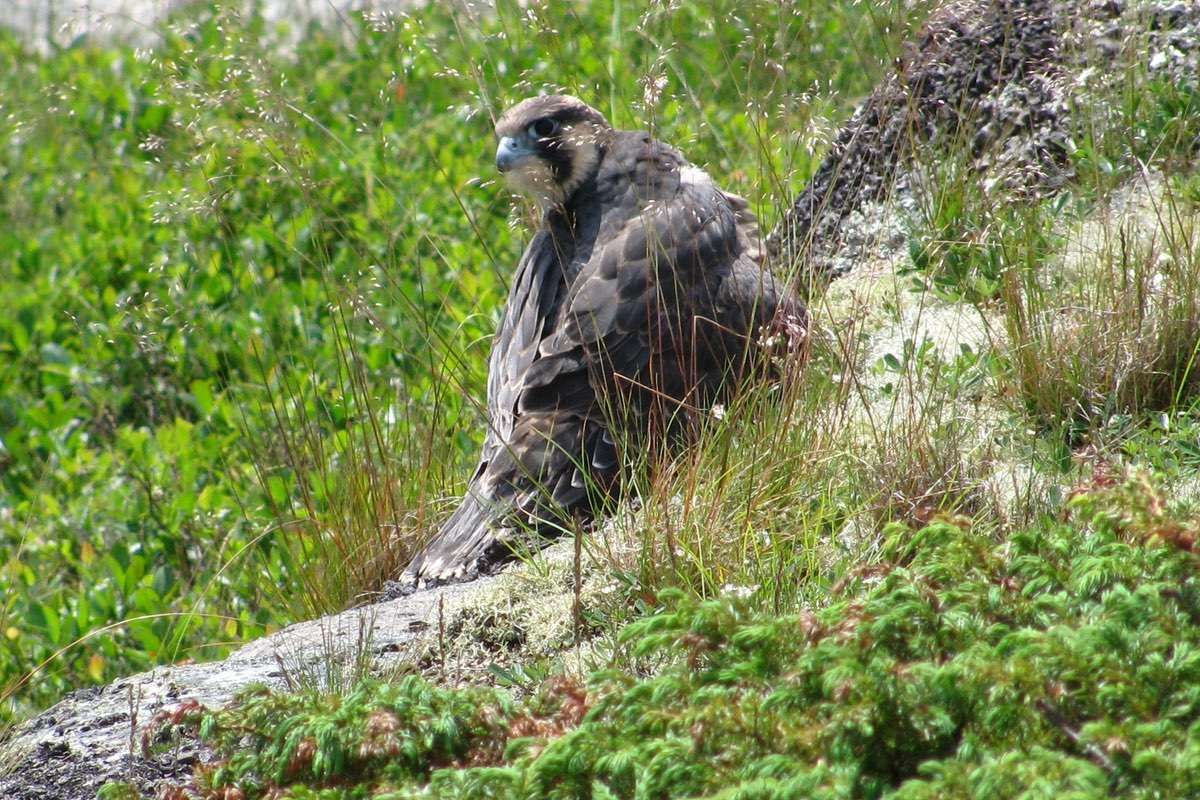 Peregrine Falcon in Acadia National Park.