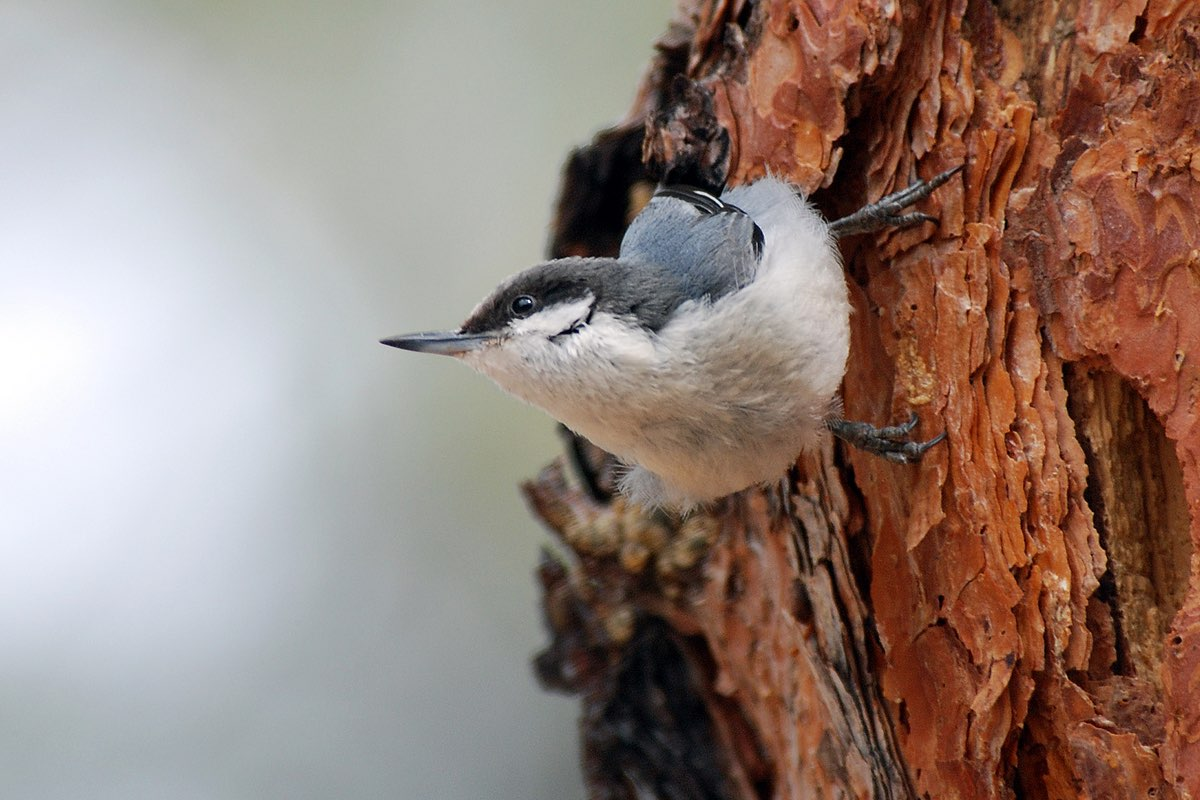 Pygmy Nuthatches are common year-round in Bandelier National Monument.