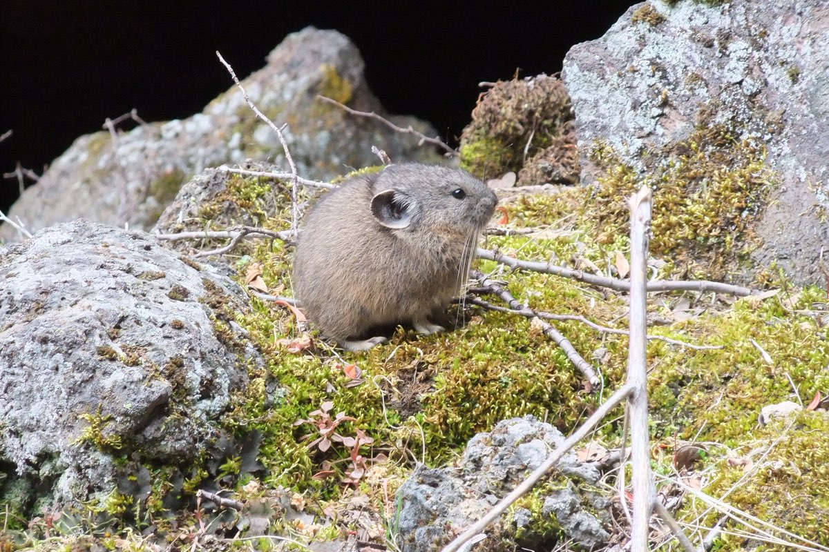 Pika in Lassen Volcanic National Park.