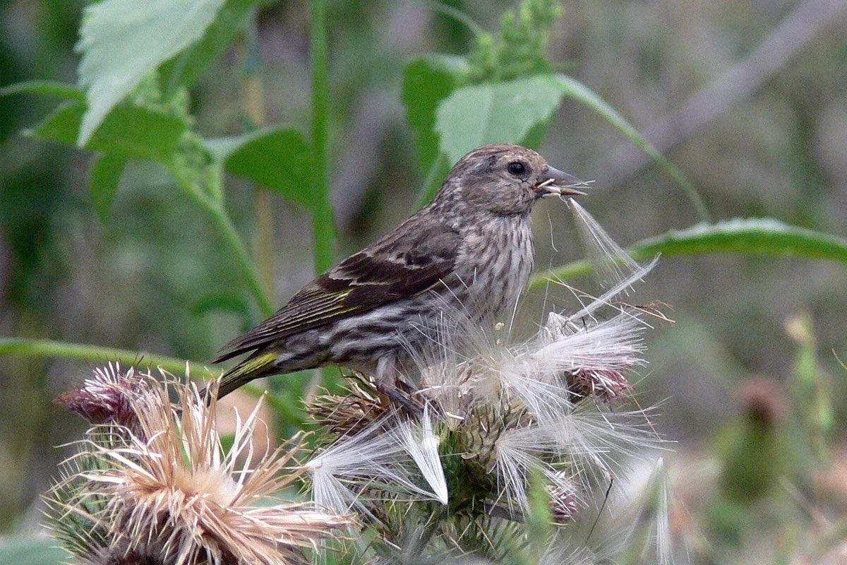 Pine Siskin in Bandelier National Monument.