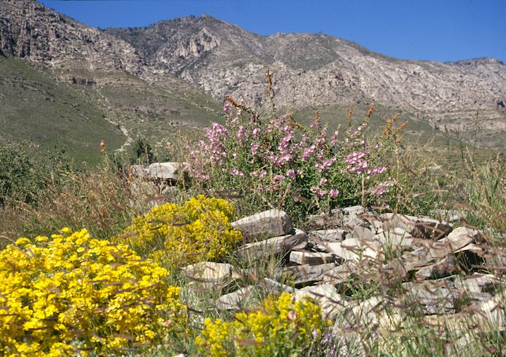 Remnants of Pinery Stage station buried in summer wildflowers in Guadalupe National Park.
