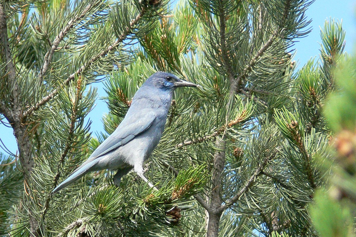 Pinyon Jay in Bandelier National Monument.