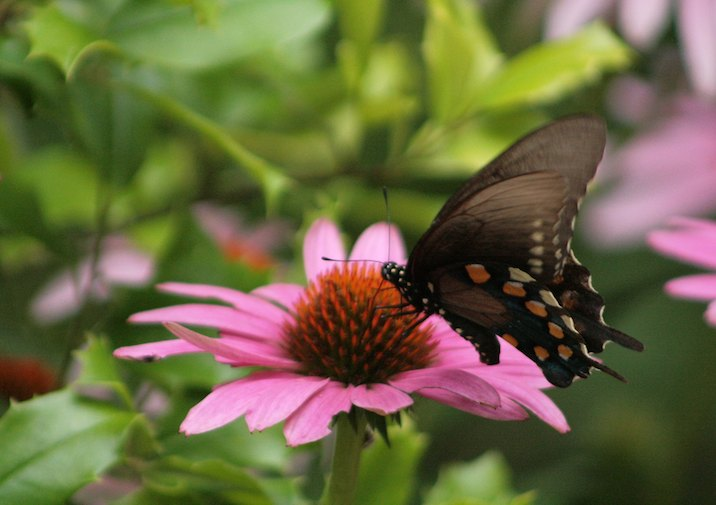 Pipevine Swallowtail (Battus philenor) on a Tennessee Coneflower in Frozen Head State Park.
