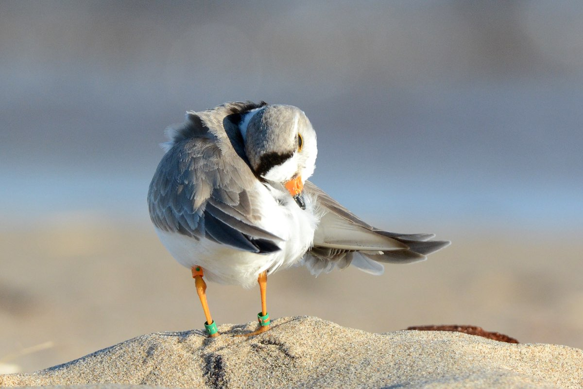 Watch for rare Piping Plovers (Charadrius melodus) in Ninigret National Wildlife Refuge.