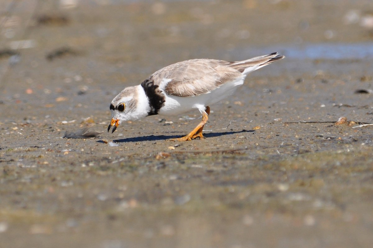 You may see a Piping Plover (Charadrius melodus) in Ninigret National Wildlife Refuge.