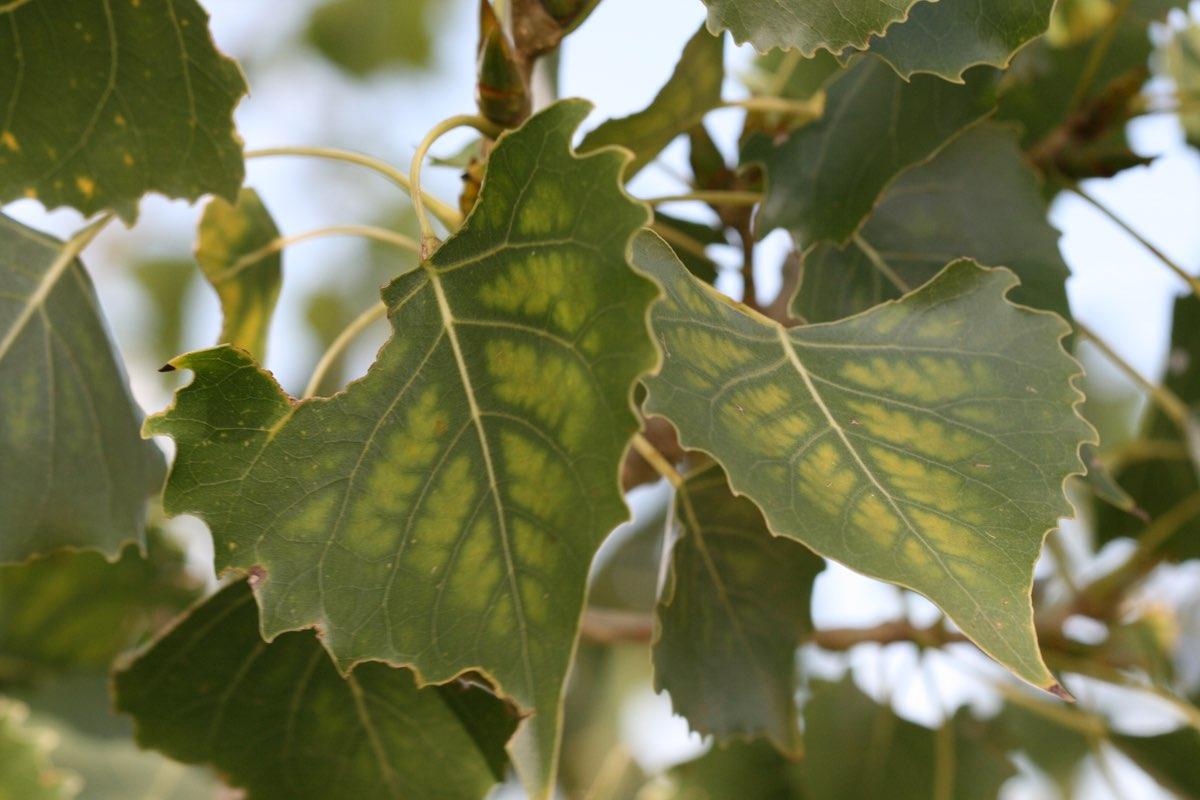 Cottonwood leaves starting to change color in Badlands National Park.