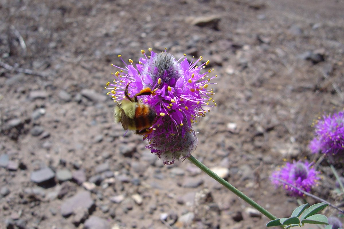 Bee on Prairie Clover (Dalea purpurea) in John Day Fossil Beds National Monument.